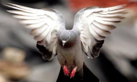Почему голуби теряют дорогу домой?