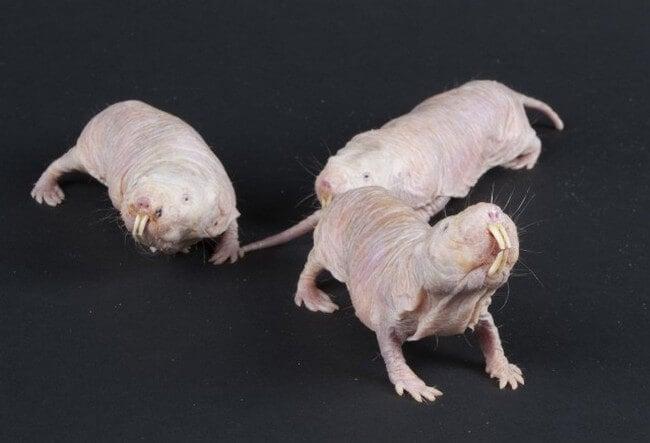 naked-mole-rat1