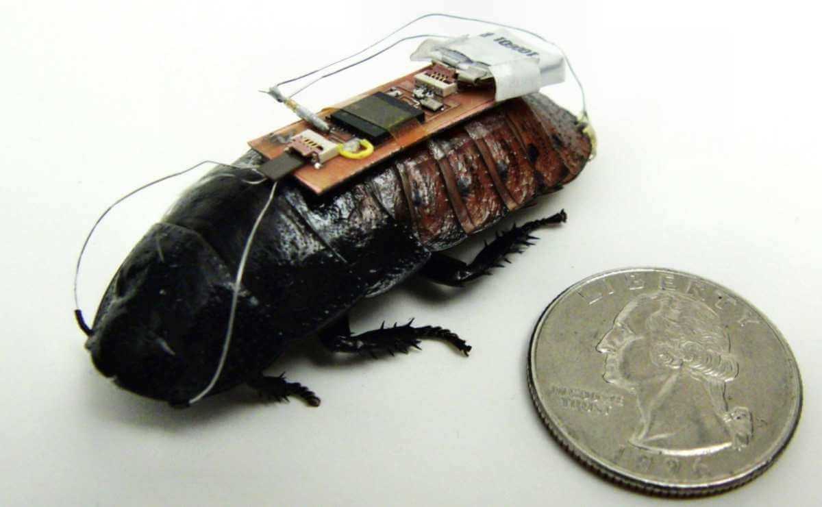 Управляемый таракан биоробот
