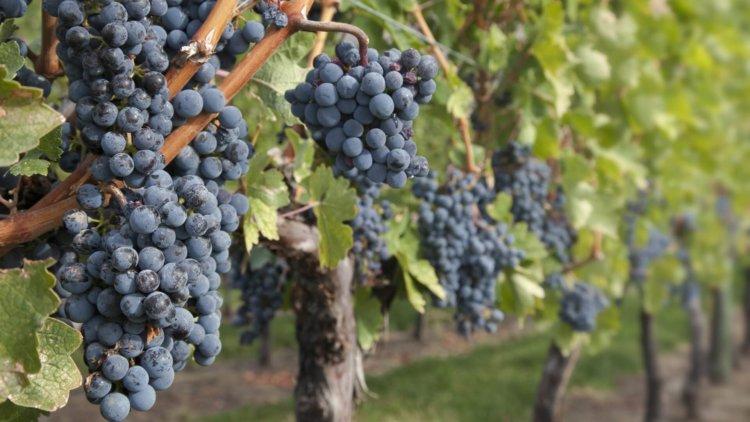 VineyardDrone