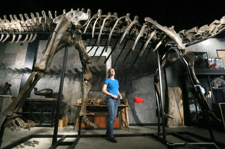 Dinosaur skeleton set for auction