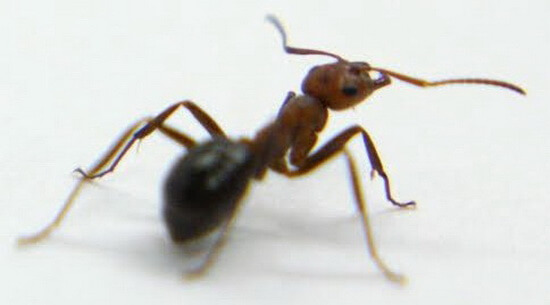 ant_neck_strength-12