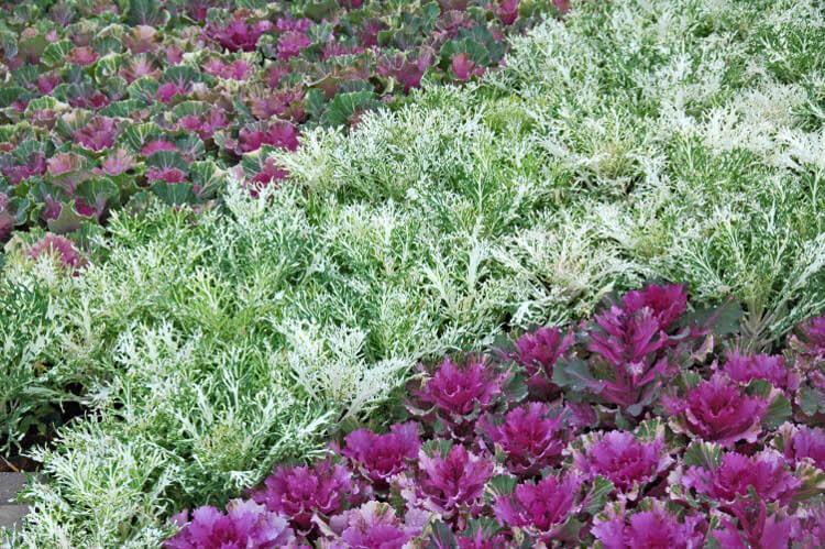 Краснокочанная капуста в огороде