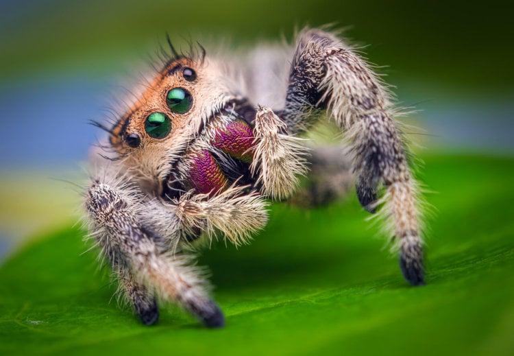 Самка паука-скакуна