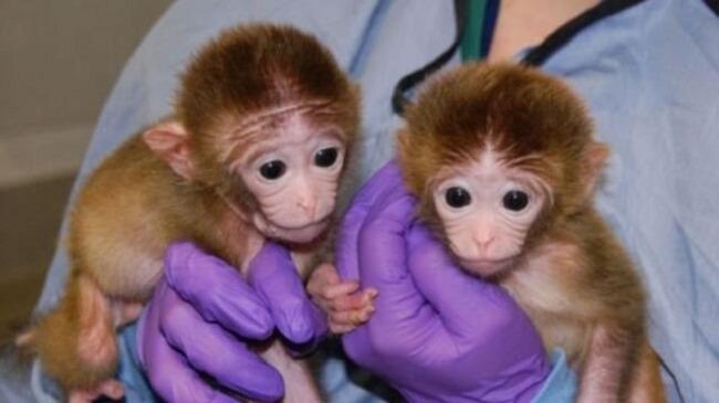 Генетически модифицированные обезьяны Линьлинь и Миньминь