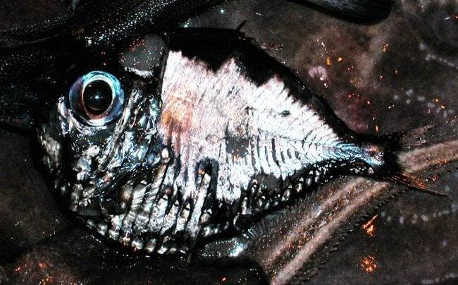 Рыб-топорик
