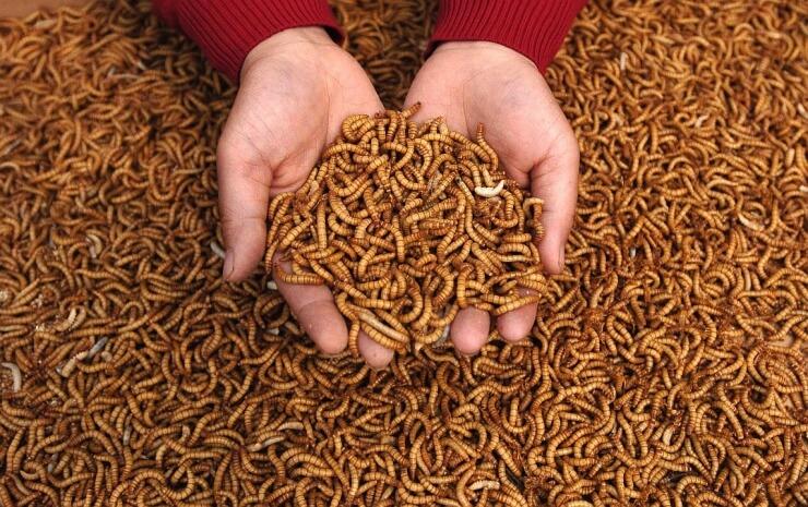 Китайцы предлагают использовать червей в качестве рациона питания ...