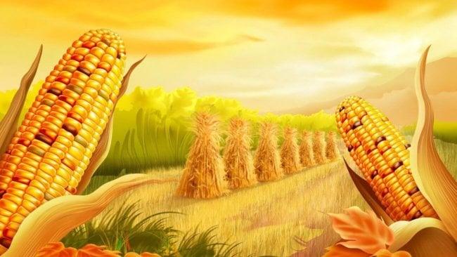 #биология | 5 распространенных мифов о кукурузе