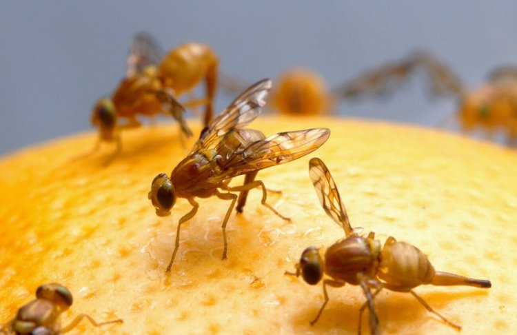Генетически модифицированные плодовые мушки
