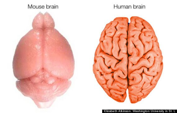 Мозг мыши и человека
