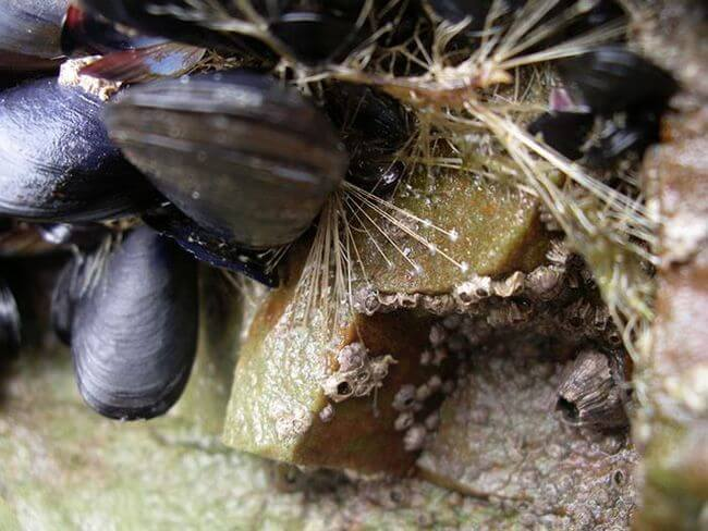 Моллюски вдохновили учёных на создание нового суперклея