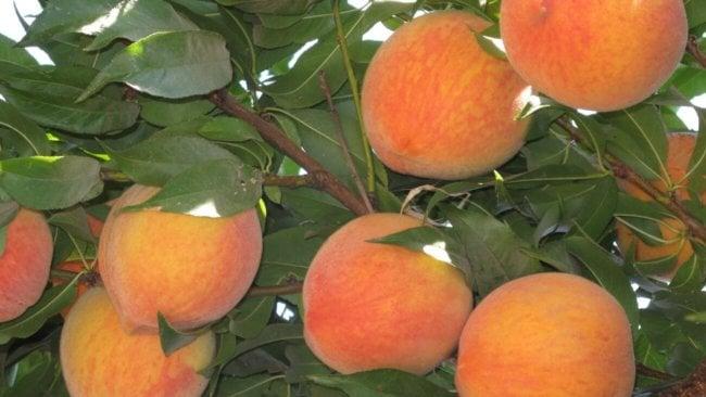 Персики
