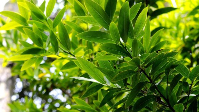 масло мангустина из тайланда применение