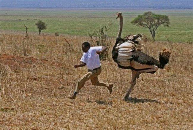 Бег со страусом