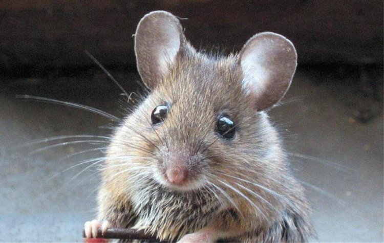 Учёным удалось вернуть слух глухой лабораторной мыши