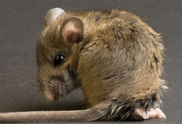 Мышь-полевка