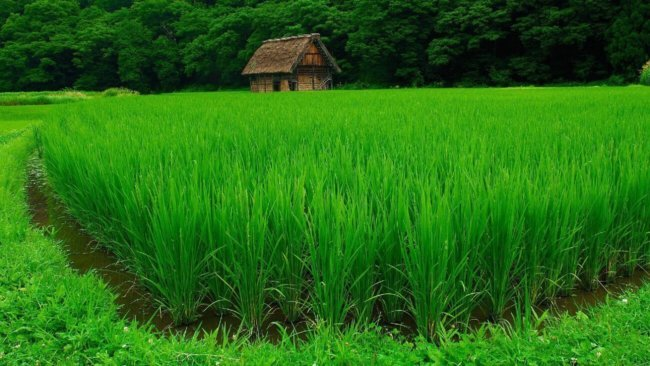 Растущий рис