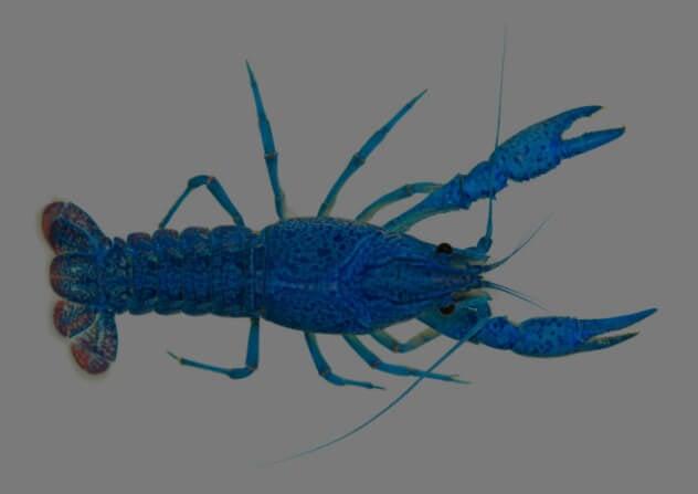 Голубой омар