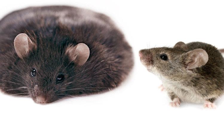 Генетически модифицированная бактерия не позволяет мышам толстеть