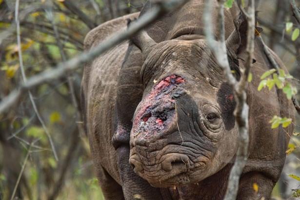 Носорог без рога