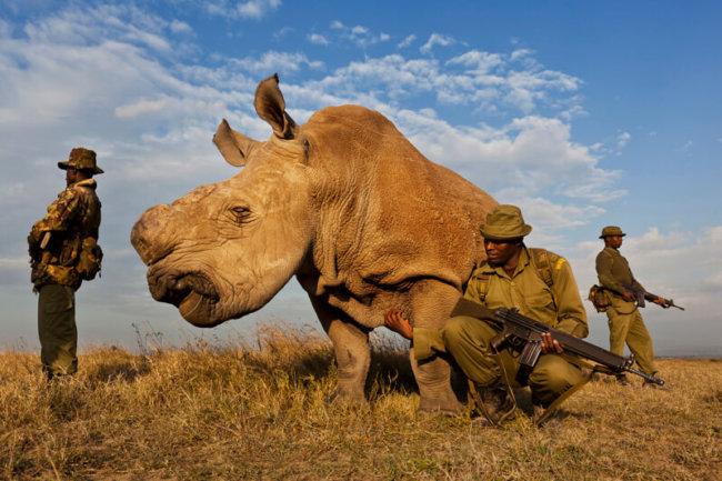 Охрана белого носорога