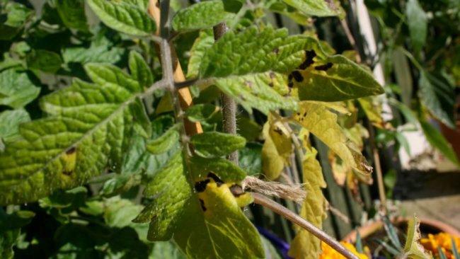 Почему желтеют листья помидоров?