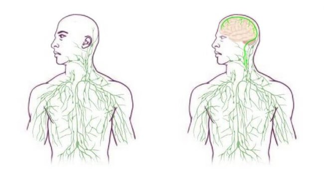 Связь между мозгом и иммунной системой
