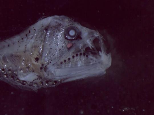 Учёные нашли клыкастую рыбу, похожую на пришельца