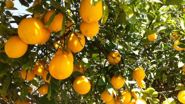 #биология | Лимон содержит модулятор иммунитета нарингенин