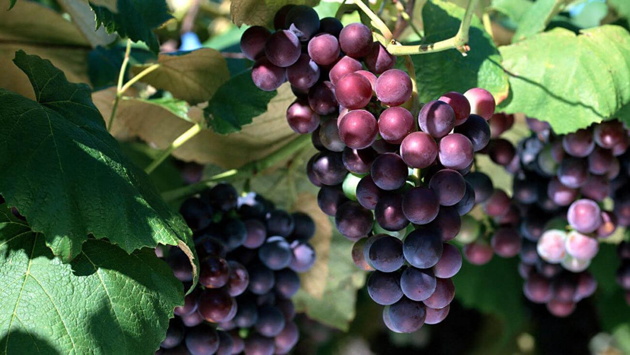 году в листьях винограда есть ресвератрол ОВЕН:
