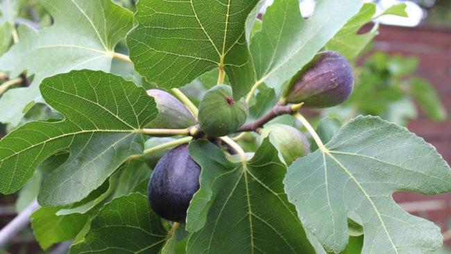 #биология | Инжир — витаминный, но аллергенный