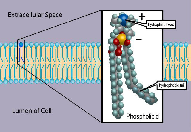 Фосфолипиды