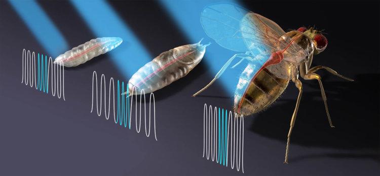 Учёные научились контролировать сердце дрозофилы при помощи лазера