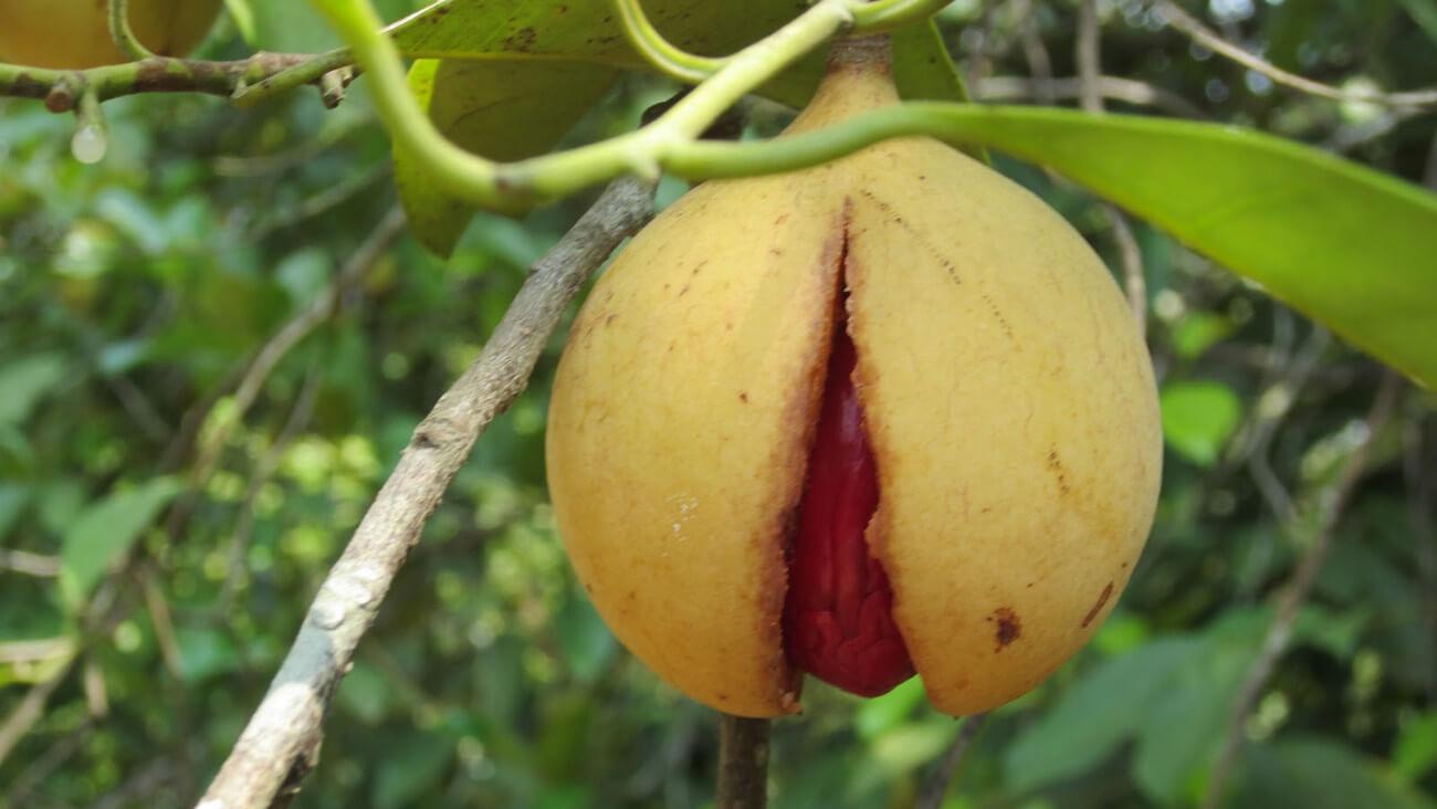 #биология   Мускатный орех — для нервной и пищеварительной систем