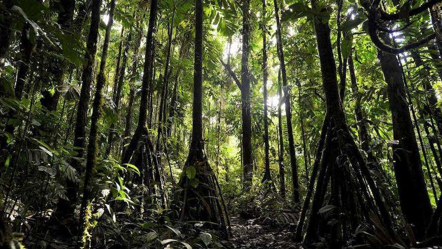 Эти ходячие деревья способны преодолевать расстояние до 20 метров в год