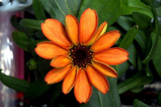 spaceflower