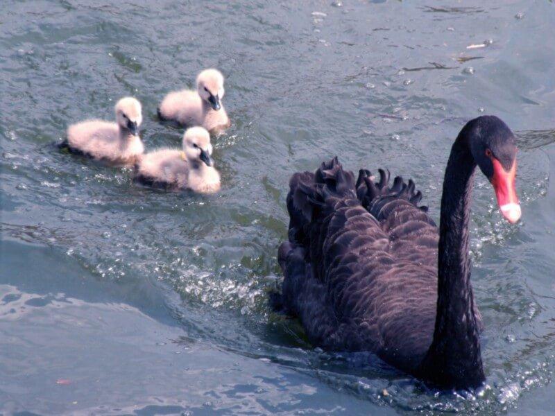 Лебеди