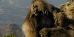 Новый шаг к пониманию языка обезьян