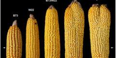Новый сорт кукурузы поможет решить проблему голодающих