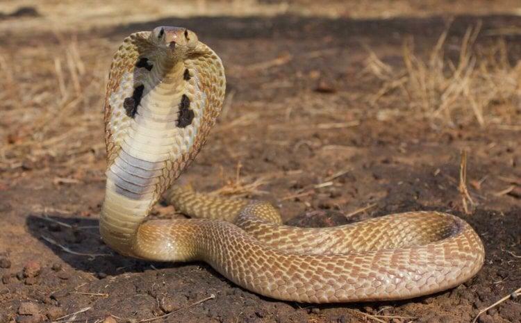 Новое противоядие спасёт вас от укуса 18 разных ядовитых змей