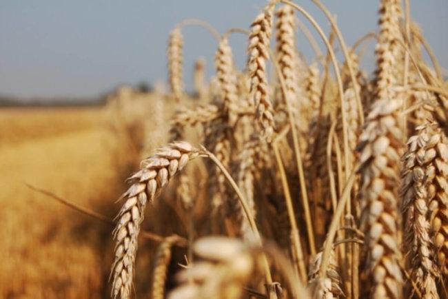 Грибковая инфекция уничтожает пшеницу в Азии