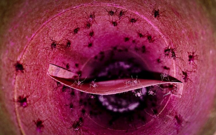 Ученые хотят использовать против комаров бактериологическое оружие