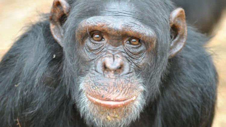 Получат ли шимпанзе права человека?