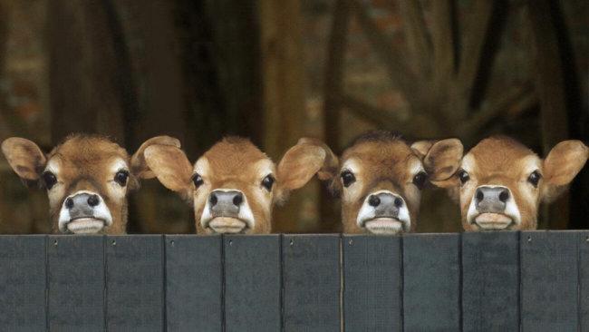 У счастливой коровы молоко богаче кальцием