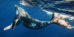 Стэнфордским учёным удалось закрепить камеру на спине кита