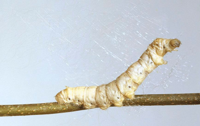 Наука позволила гусеницам шелкопряда вырабатывать сверхпрочную шёлковую нить