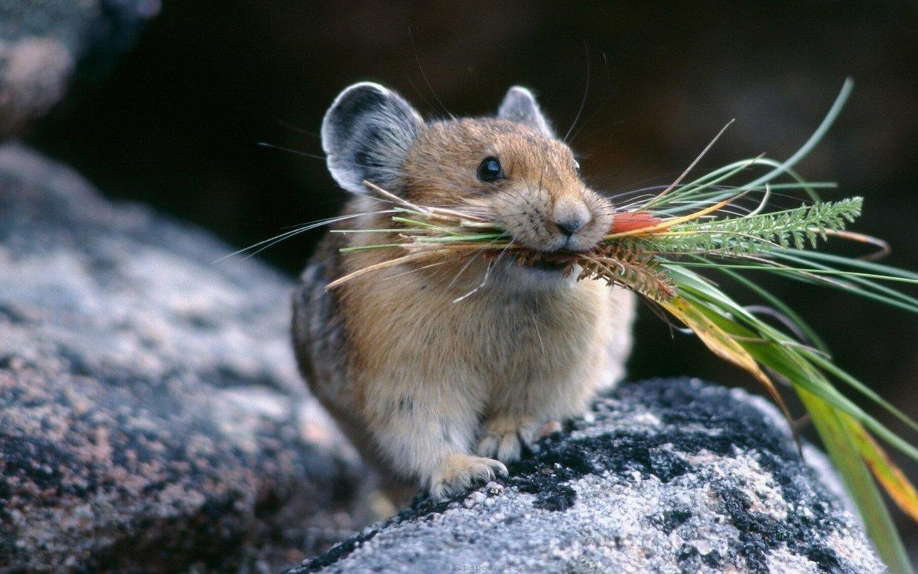 Мышей омолодили инъекциями