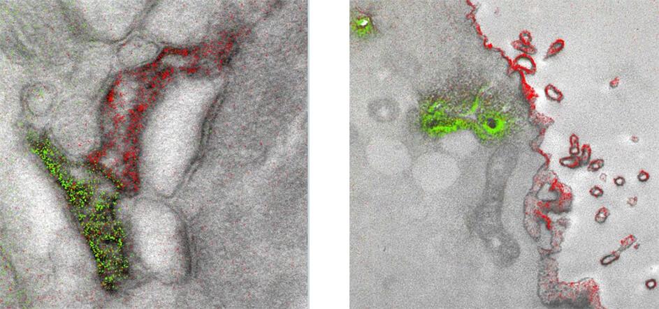 Получены первые цветные изображения, сделанные с помощью электронного микроскопа