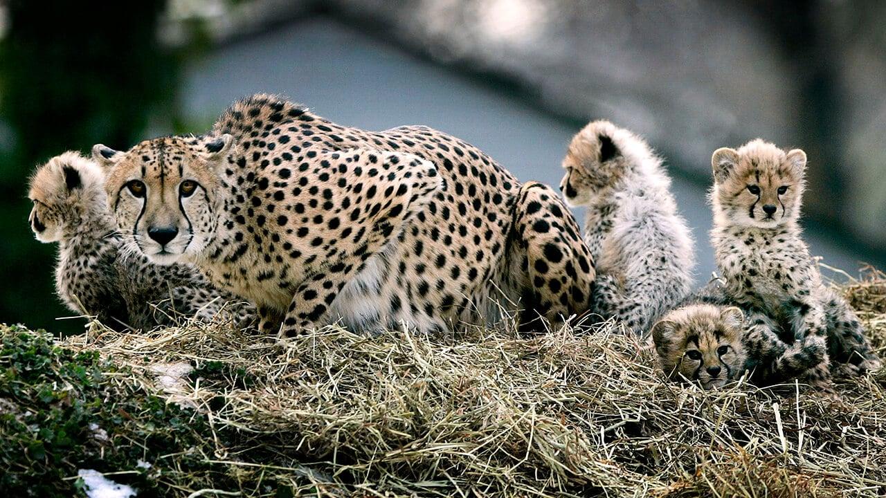Быстрейшее из наземных млекопитающих оказалось на грани вымирания