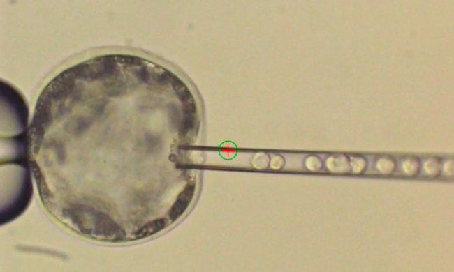 Сделаны эмбрионы-химеры человека исвиньи